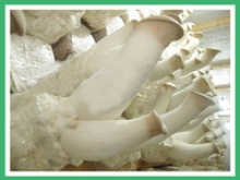 fresh king oyster mushroom - product's photo