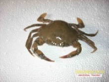 live mud crab - product's photo