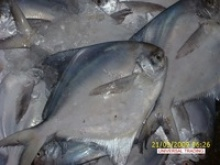 fresh chilled silvery white pomfret - product's photo
