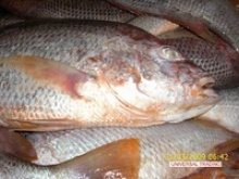 fresh red snapper - product's photo