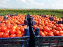 red color fresh tomato - product's photo