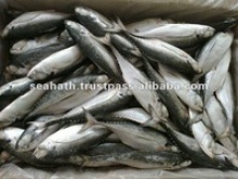indian horse mackerel - product's photo
