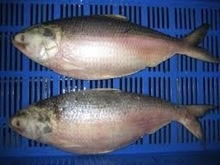 frozen hilsa fish - product's photo