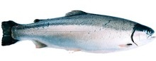 100% fresh sea trout - steelhead- atlantic ocean/salmon trout - product's photo