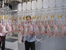 halal certified whole frozen chicken for export - product's photo