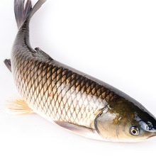 grass carp/asian carp fresh fish - product's photo