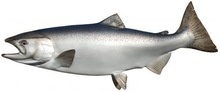 good quality fresh king salmon - product's photo