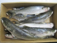 frozen grey mullet whole - product's photo