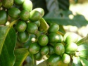 arabica aa,b, green coffee sale - product's photo