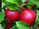 fresh delicious quality red apple - product's photo