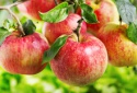 sweet delicious fresh golden apple fruits from poland - product's photo