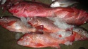 best quality iqf frozen red snapper  - product's photo