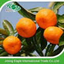 chinese fresh sweet baby mandarin orange fruit - product's photo