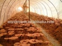 ganoderma lucidum extract - product's photo