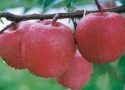 apples,fresh apples,qinguan apple for export - product's photo
