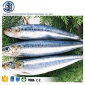 frozen bonito skipjack tuna fish seafood - product's photo