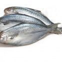 butter fish (odax pullus) - product's photo