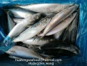 frozen pacific mackerel whole round sea frozen and land frozen for can - product's photo