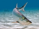 tarpon - product's photo