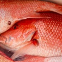 red tail snapper - product's photo