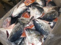 frozen salmon heads - product's photo