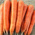 new crop fresh carrot / red carrot / carrots for sale - product's photo
