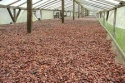 high grade dry cocoa beans - product's photo