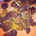 ox gallstone - product's photo