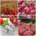 dragon fruits , fresh fruits thailand - product's photo