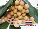 fresh longan, dried longan, sweet longan, thai longan - product's photo