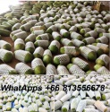 fresh papaya holland ,premium grade export fresh holland papaya , thai - product's photo