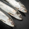 frozen atlantic herring (clupea harengus) - product's photo
