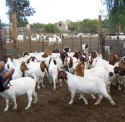 boar goats cows , senaan goats and sheep - product's photo