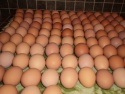 fertile chicken eggs for sale - product's photo
