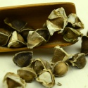 moringa seed - (with wing) - product's photo