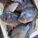 frozen tilapia whole fish - product's photo