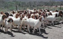 100% full blood live boer goats, saanen goats, anglo numbian goats for - product's photo