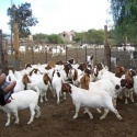 live boer goats,saanen goats, askanian goats for sale - product's photo