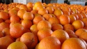 navel orange / valencia orange / baladi orange  - product's photo