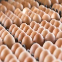 ostrich eggs, chicken eggs - product's photo