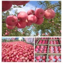 competitive price apple fruits fresh style pome stype fruits fuji appl - product's photo