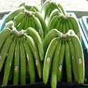 fresh cavendish bananas of ecuador - product's photo