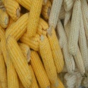 white and yellow corn/maize grade 1  - product's photo