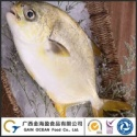 frozen whole golden pompano fish - product's photo