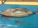 frozen tuna fish skipjack - product's photo