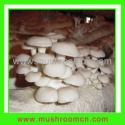 oyster mushroom substrate - product's photo