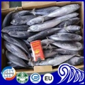 frozen sea caught whole round bonito fish - product's photo