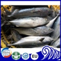 frozen whole round bonito fish - product's photo