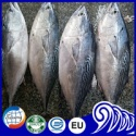 block shape frozen bonito fish whole round - product's photo