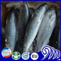whole round bonito fish - product's photo